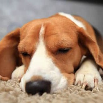 Apartment Rentals Burien beagle