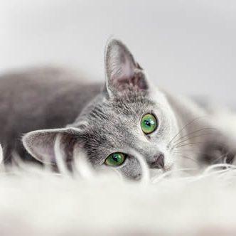 Apartment Rentals Burien cat_gray