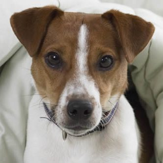 Apartment Rentals Burien dog_jack_russell